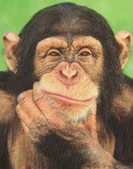 Chimps think